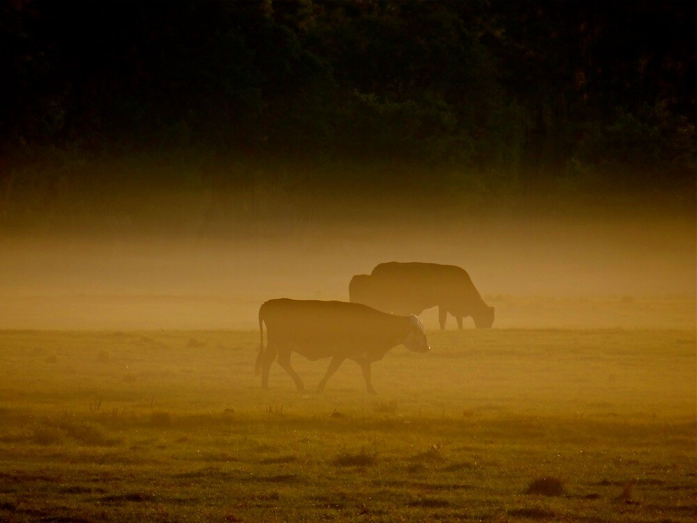 Cows in the morning mist ( Central Florida ) by inge1967