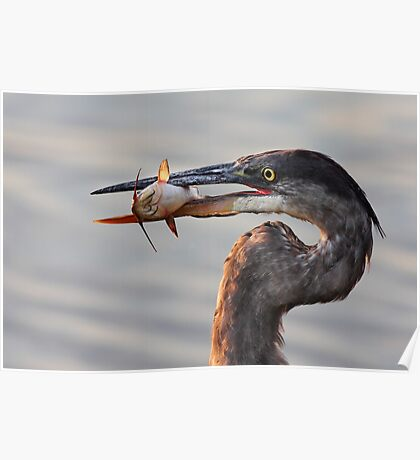 A fresh catch - Great Blue Heron Poster