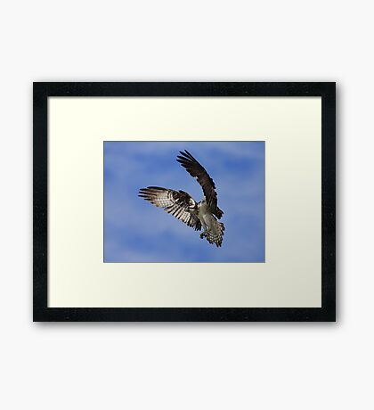 Osprey Wingspan Framed Print