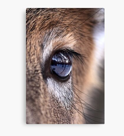 Now thats an eyefull! - White-tailed Deer Canvas Print
