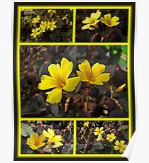 Yellow Oxalis - Oxalis spiralis vulcanicola Poster