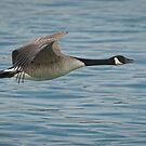 Canada Goose by (Tallow) Dave  Van de Laar
