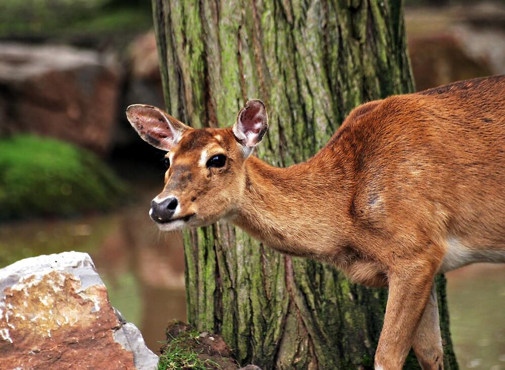 Red deer by Norma Cornes