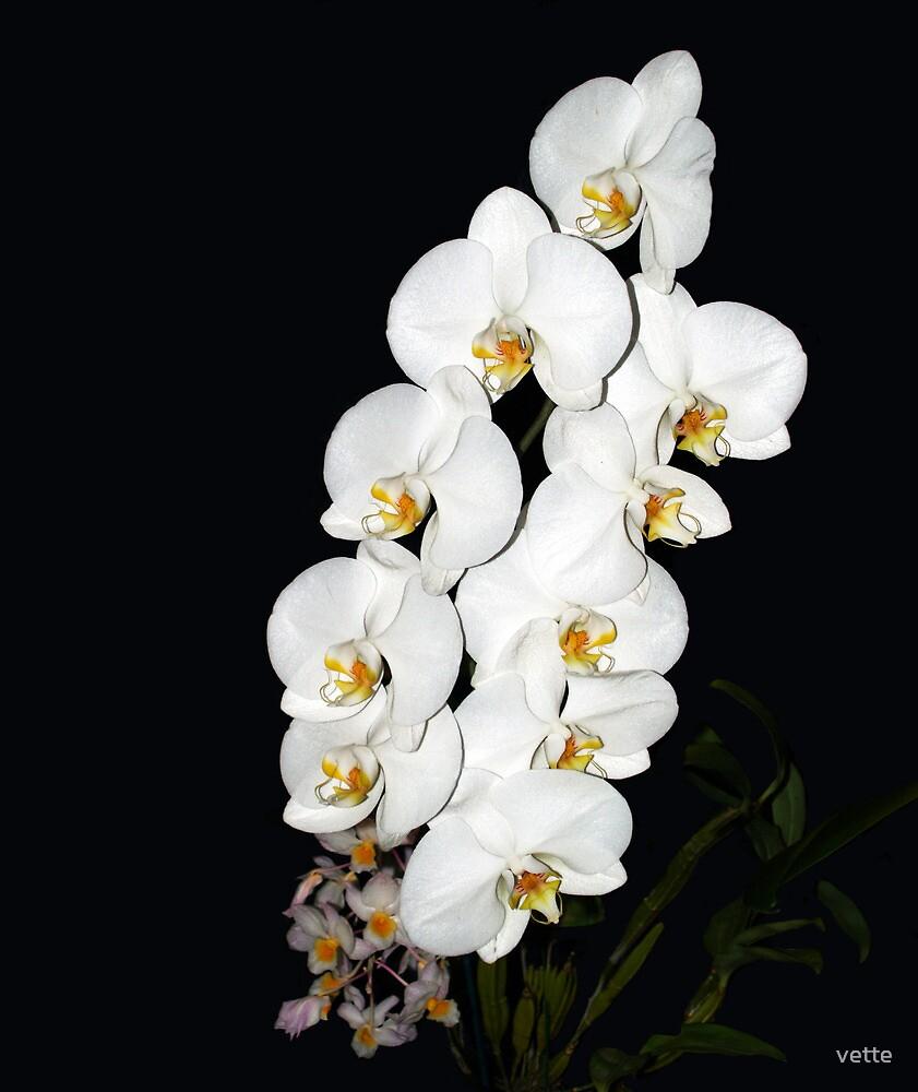 Delightful White Phalaenopsis Orchid Flowers by vette