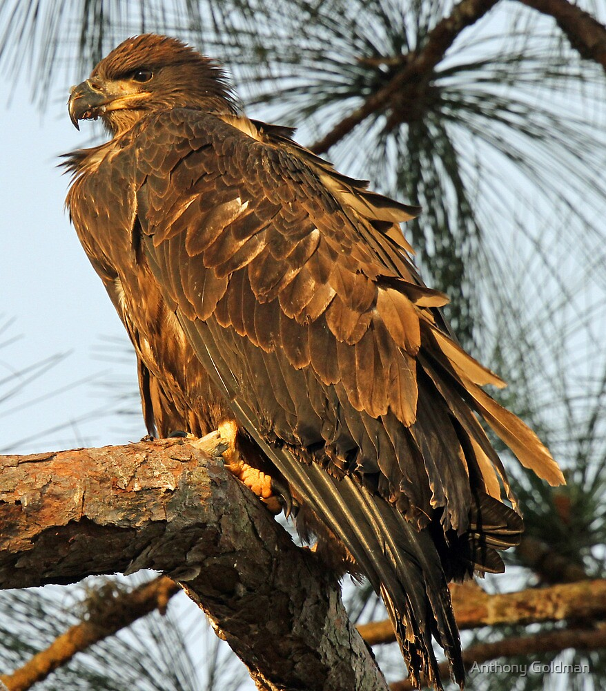 Anclote eaglet-I have grown into a big bird already! by Anthony Goldman