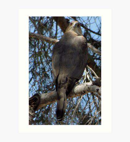 Coopers Hawk ~ Over the Shoulder Art Print