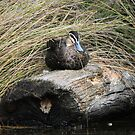 Tuck Up for The Night  Duck on Log by Kym Bradley