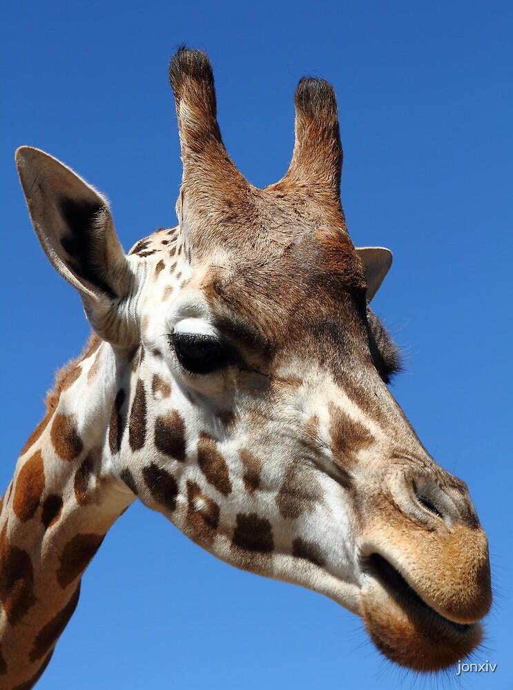 """""""Giraffe Portrait"""" by jonxiv"""