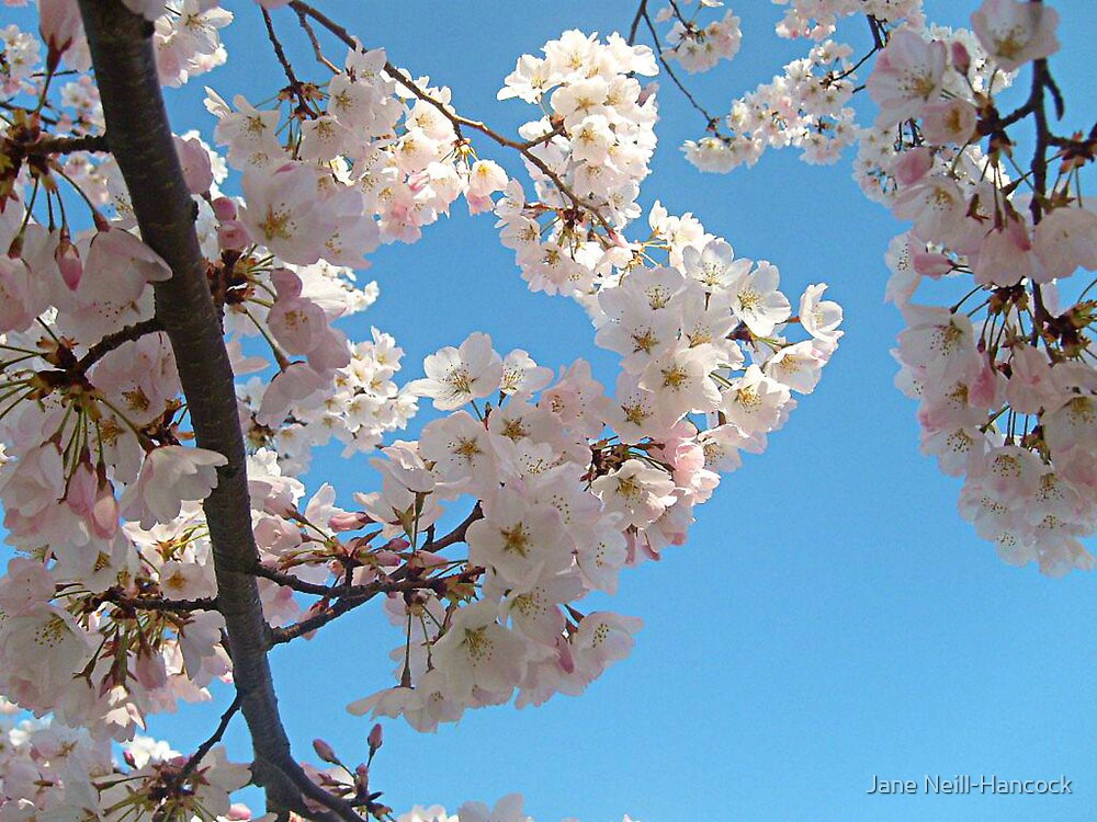 Delicate Petals Against A Blue Sky by Jane Neill-Hancock