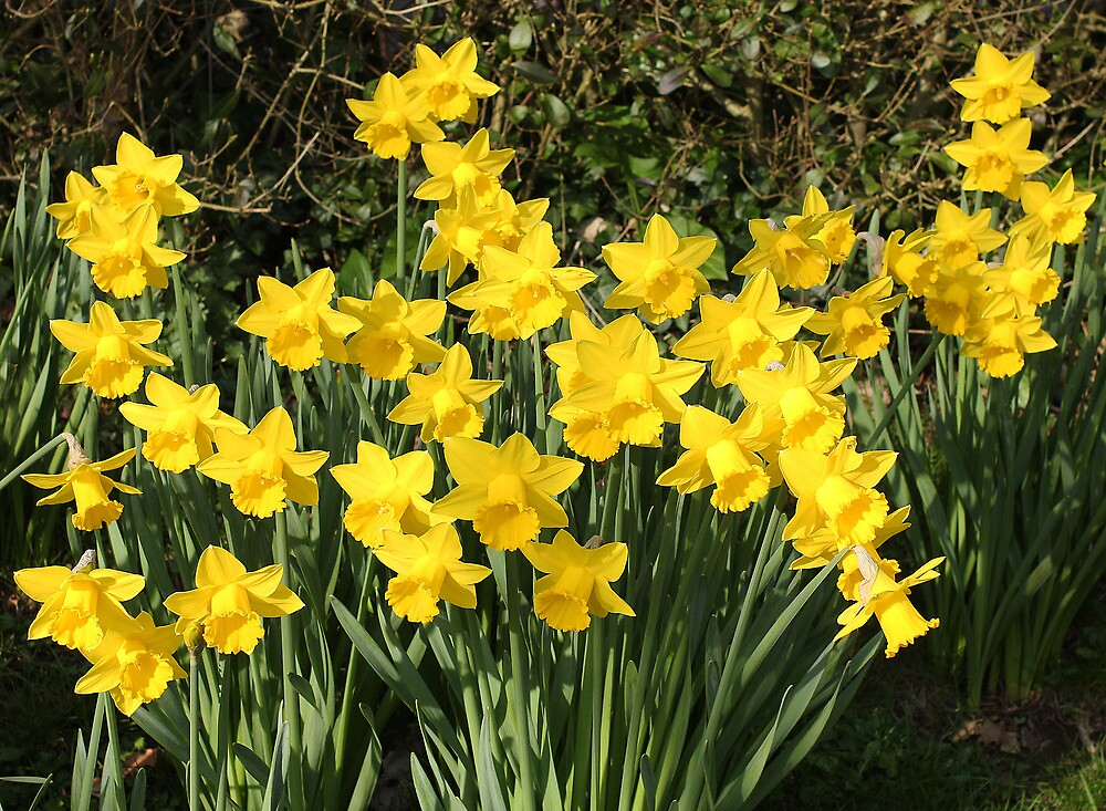 In praise of sunshine! - Daffodils by Rivendell7