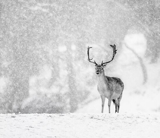 A Stag In The Snow by Patricia Jacobs DPAGB LRPS BPE4