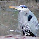My First Heron of 2013 by aprilann