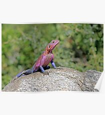 Agama Lizard Poster