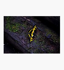 Black and yellow swallowtail butterfly Photographic Print
