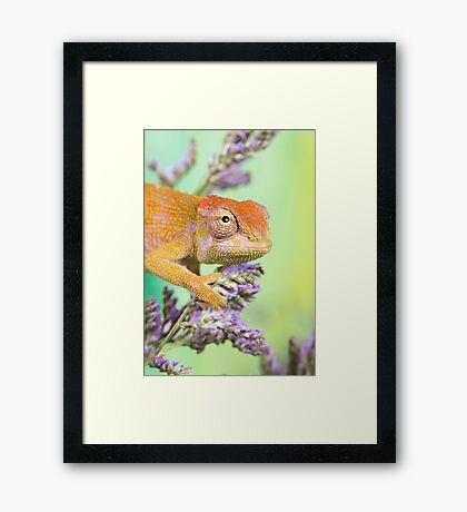 dwarf fishers chameleon Framed Print