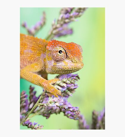 dwarf fishers chameleon Photographic Print