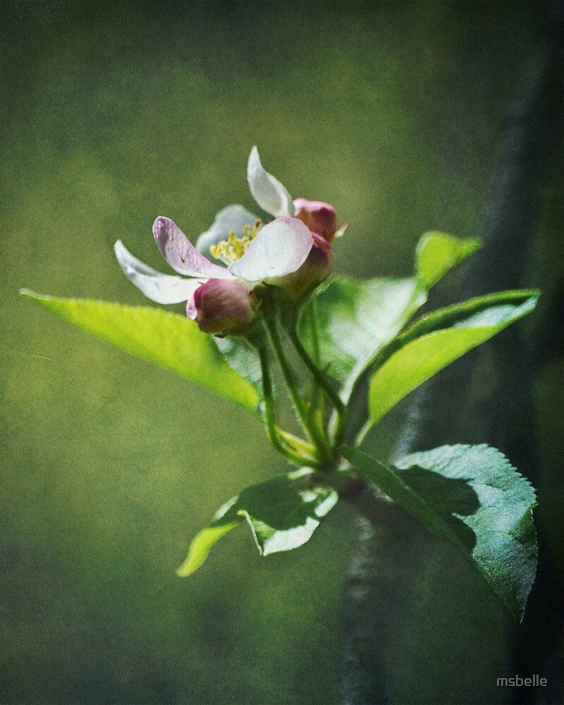 Apple Blossom by msbelle