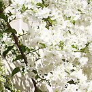 White Bougainvillea - 16 03 13 - Four by Robert Phillips