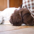 Sleeping Springer by Greg  Walker