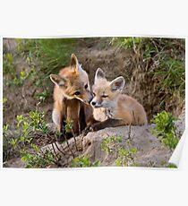 Young Fox Kit kits playing Saskatchewan Canada Poster