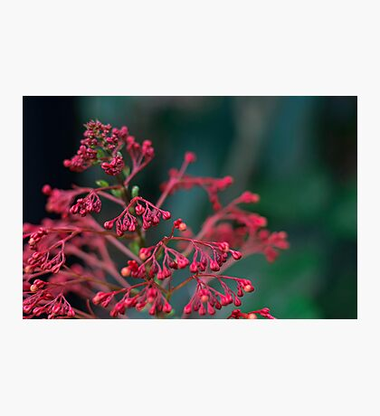 Red Flower Buds Photographic Print