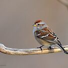 American Tree Sparrow by Nancy Barrett