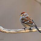 American Tree Sparrow by Nancy Barrett