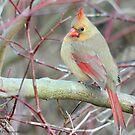 Female Northern Cardinal  by Nancy Barrett