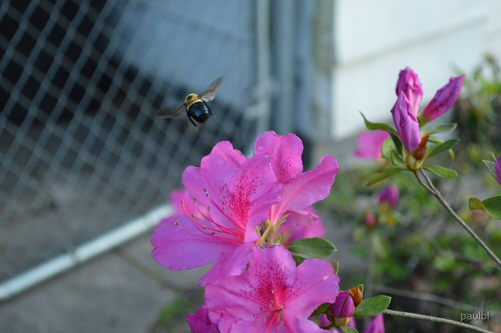 Bee 2 by paulbl
