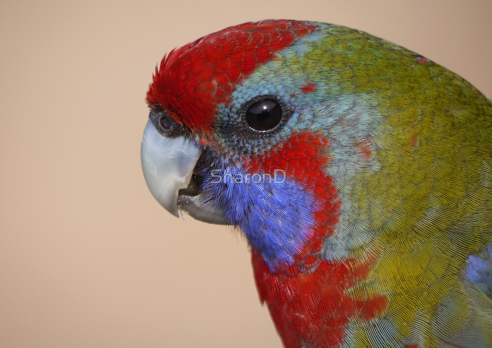Young Crimson Rosella by SharonD