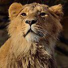 Young Male Asiatic Lion by Jacqueline van Zetten