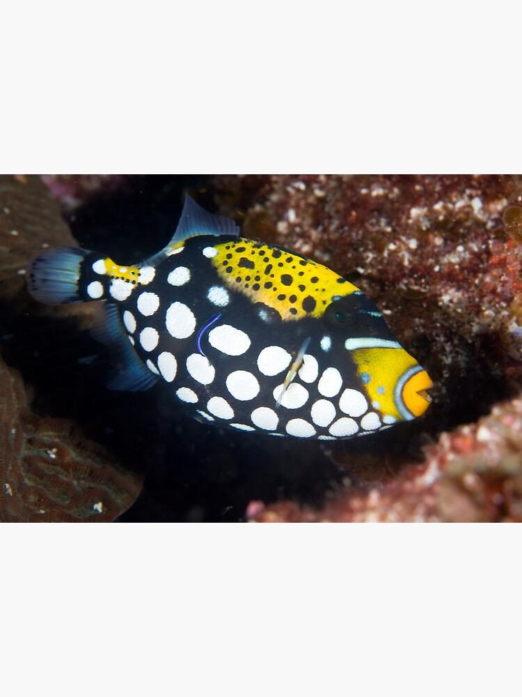 Clown triggerfish by DavidWachenfeld