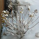 Winter Hydrangea by MaryinMaine