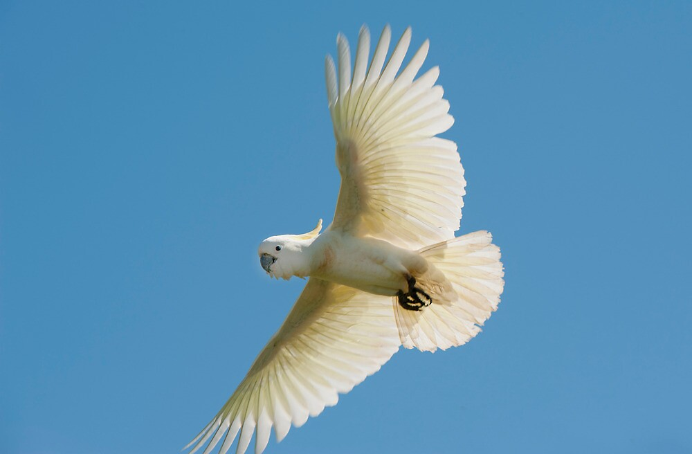 High Flyer - white cockatoo by Jenny Dean