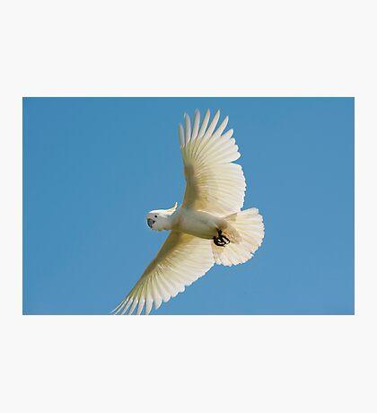 High Flyer - white cockatoo Photographic Print