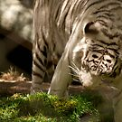 White Tiger by Casey VanDehy