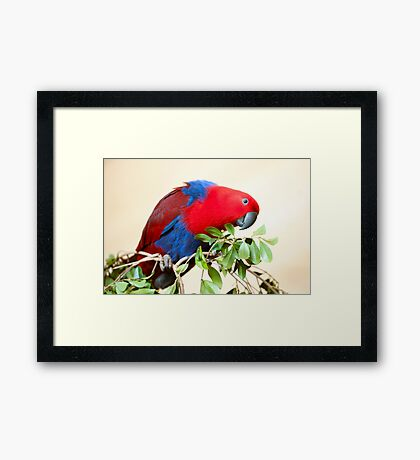 Eclectus Parrot Framed Print