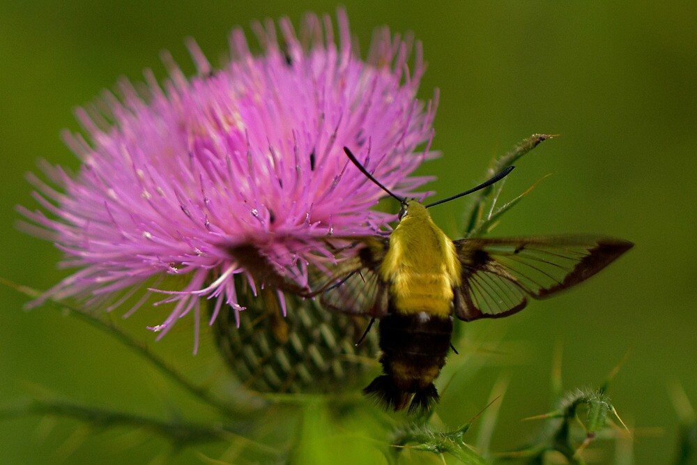 Hummingbird Moth by Lynn Gedeon