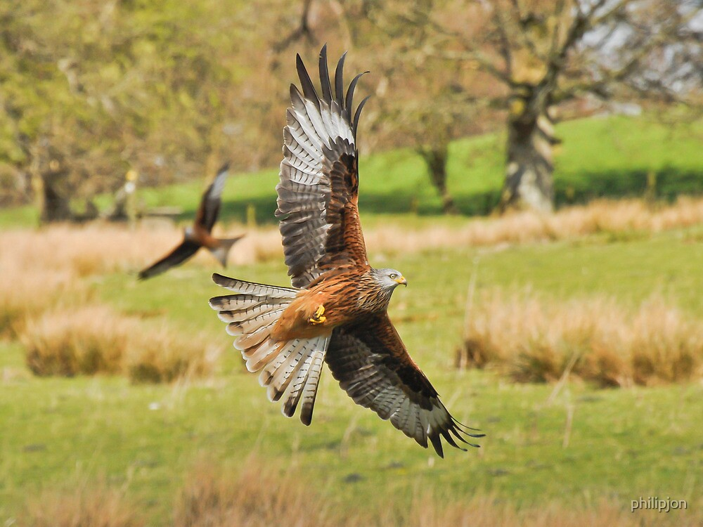Red Kite On the Hunt by philipjon