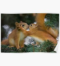 Baby Squirrel Kiss Poster