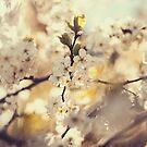 Blossom by ilva