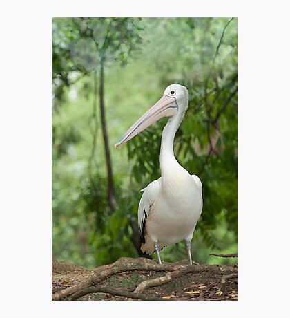A wonderful bird is the Pelican.... Photographic Print