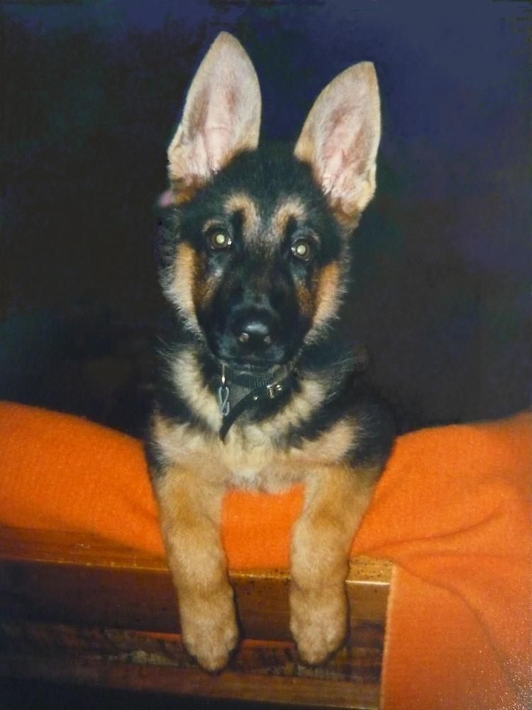 A German Shepherd Puppy named Target by Vivian Eagleson