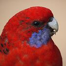 Crimson Rosella-Adult by SharonD