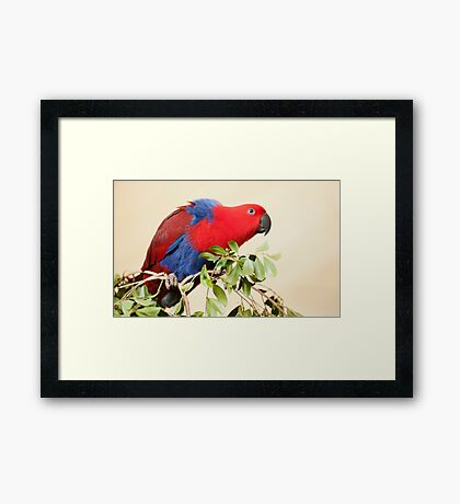Hang On - Eclectus Parrot Framed Print