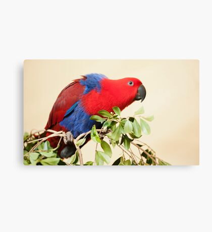 Hang On - Eclectus Parrot Canvas Print