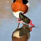 Common Shelduck ......walking on water by Jacqueline van Zetten