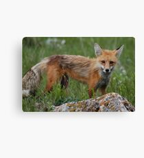 Brother Fox #1 Canvas Print