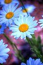 Daisy 4 by John Velocci