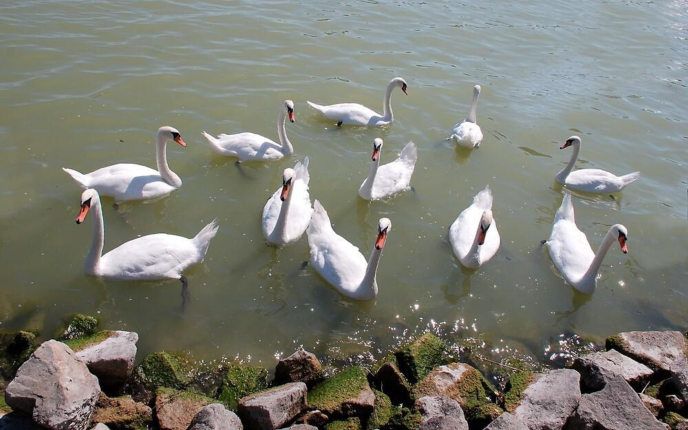 Swans on Lake Balaton, Hungary by jojobob